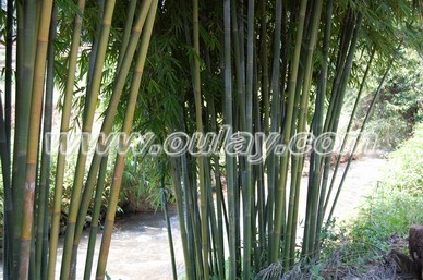 Raw bamboo material